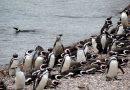 Los pingüinos comenzaron a llegar a las costas de Chubut